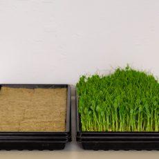 Erbsen Microgreen – in 1020 Trays